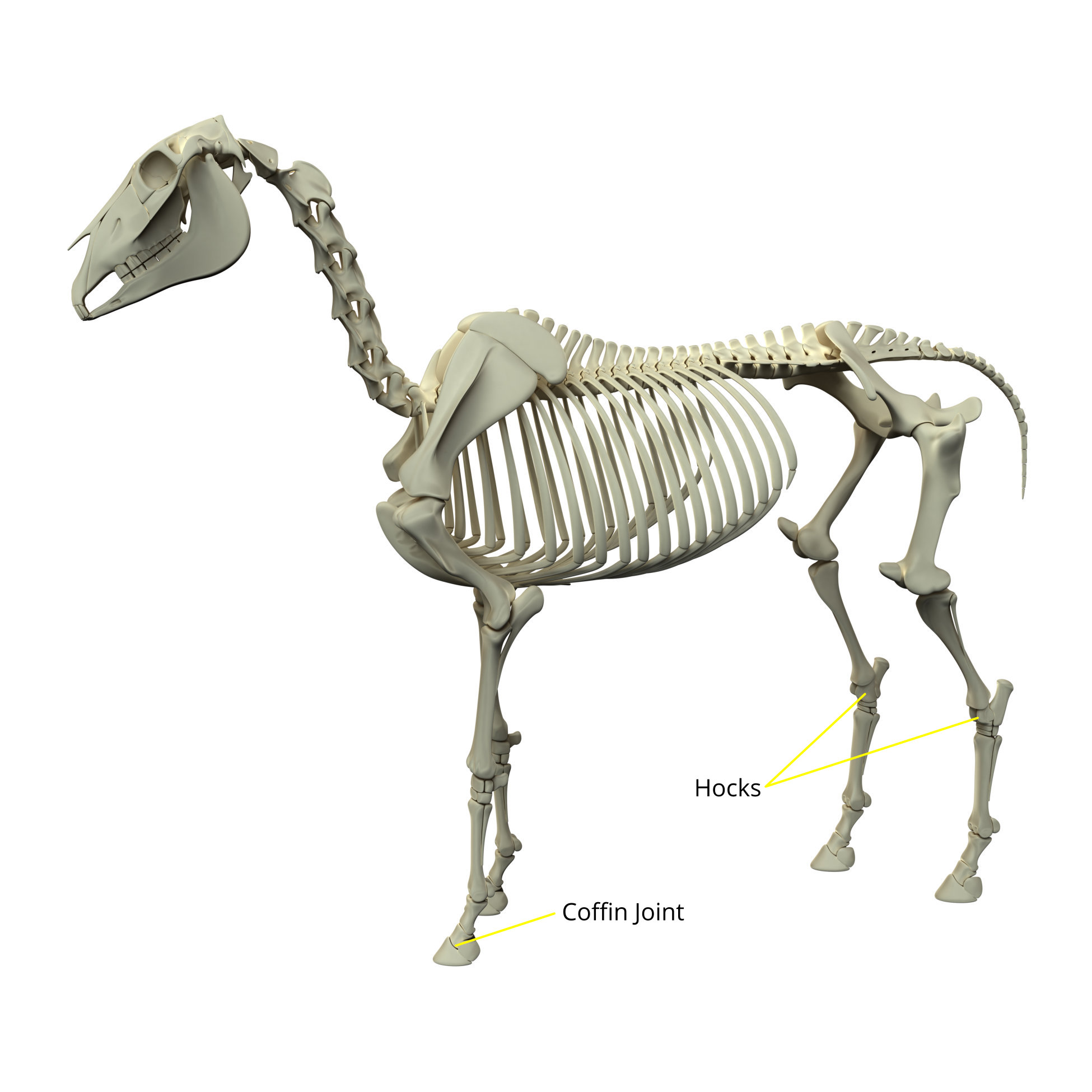Horse Skeleton with joints identified - Show Jumping Life